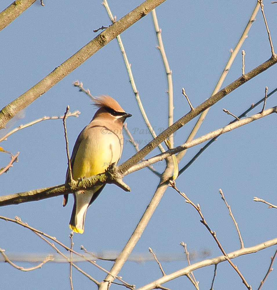 Cedar Waxwing in tree