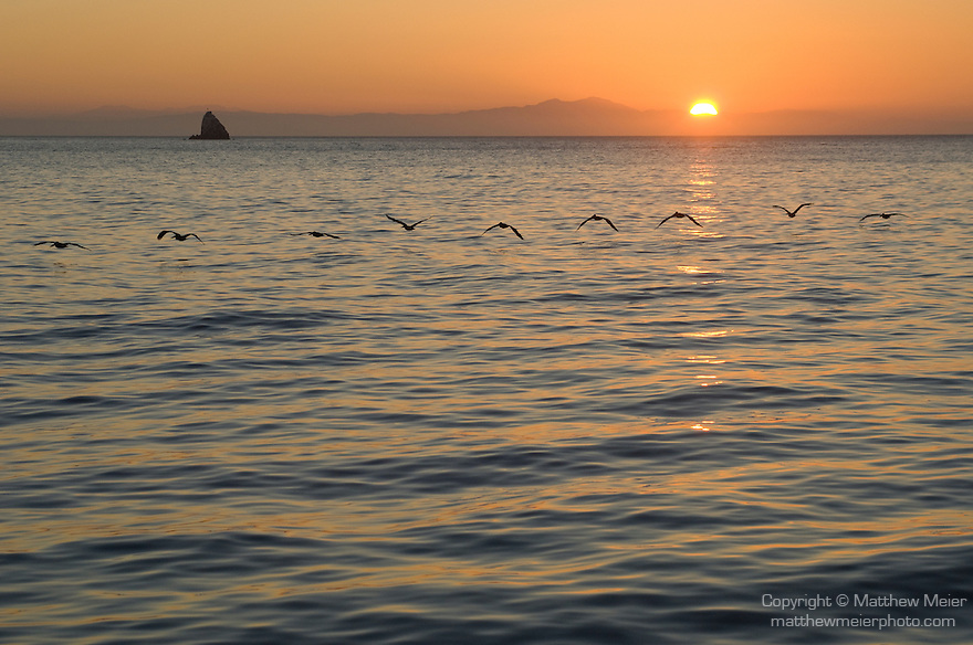 Catalina Island, Channel Islands, California; a flock of Brown Pelicans (Pelecanus occidentalis) fly in single file just above the water's surface, with Ship Rock and the rising sun in the background