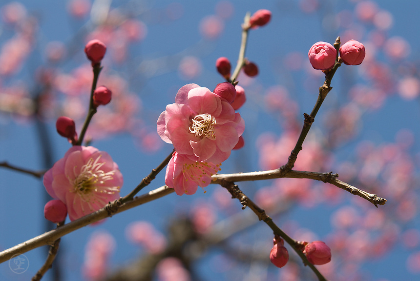 Pink ume (prunus mume) flowering in Shinjuku Gyoen.