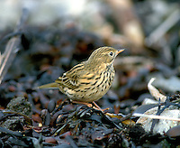 Meadow Pipit Anthus pratensis L 14-15cm. Rather nondescript, streaked brown bird. Forms loose flocks outside breeding season. Sexes are similar. Adult has streaked brown upperparts and pale underparts with dark streaks; has buffish yellow flush to flanks and breast, most noticeable in autumn. Has pale, unmarked throat, pale eyering and hint of short, pale supercilium. Legs are pinkish and outer tail feathers are white. Juvenile is similar but with less extensive streaking. Voice Utters a pseet-pseet-pseet call. Descending song is delivered in flight but starts and ends on ground. Status Common and widespread resident. Favours rough, grassy habitats; upland birds move to lowlands outside breeding season and European migrants boost winter numbers.