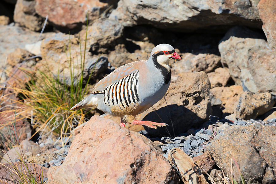 A chukar partridge, or simply chukar, Alectoris chukar, in Haleakala Crater, Haleakala National Park, Maui's dormant volcano, Hawaii. This non-native bird was introduced to the Hawaiian Islands from Asia and eastern Europe in the 1920s.