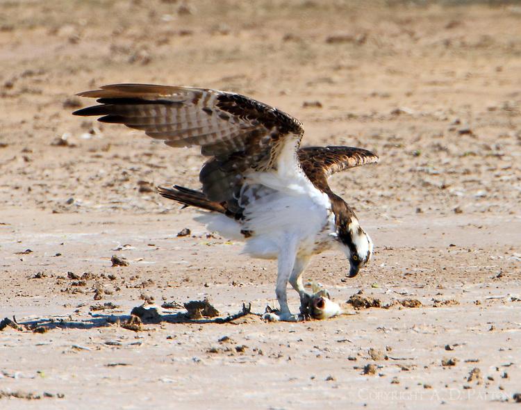 Osprey eating catfish on the shore of the Laguna Madre