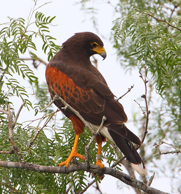 Adult Harris' hawk