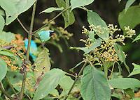 Male swallow tanager, Tersina viridis. San Jorge de Milpe Eco-Lodge, Mindo, Ecuador