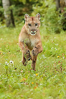 Mountain Lion running toward camera, Puma concolor, (Controlled Situation) Minnesota