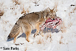 Coyote with meat. Yellowstone National Park, Wyoming.