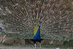 Peacock 1, Irvine Regional Park, CA.
