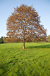 Norway maple tree, acer platanoides, in spring blossom and leaf, Suffolk, England