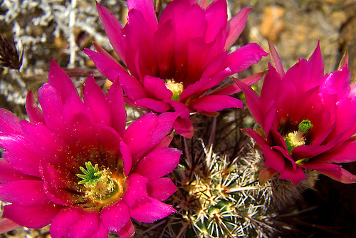 Brilliant red flowers are produced by cushion cactus during the spring at Zion National Park,Utah.
