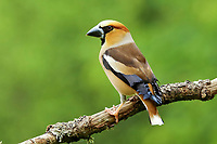 Hawfinch (Coccothraustes coccothraustes) sits on branch, North Rhine-Westphalia, Germany, Europe