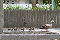 June 29, 2012, Tokyo, Japan - A spot-billed duck and eight ducklings waddle across the back alley of Tokyo residential area on Friday, June 29, 2012. .The family took a short distance walk from their habitat, a pond at a local manufacturer of electric cables, to a neighboring printing factory. Not knowing where they came from and what to do with the unexpected visitors, the factory staff treated them with care by spraying water before police came to rescue on the tip from the cable company. The siblings were rounded up to be brought back to their nest but their mother flew away. (Photo by AFLO)..