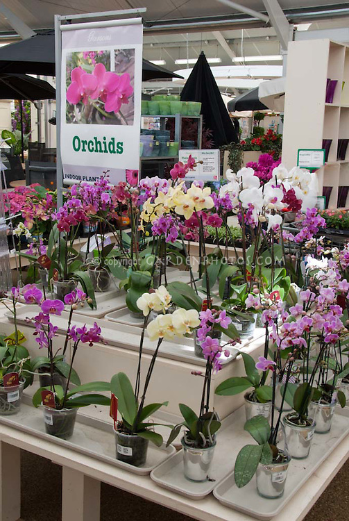 Display of flowering orchid pot plants for sale at garden shop store on table, Phalaenopsis orchids with sign