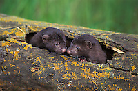 Mink (Mustela vison)--young kits in den log.  Western U.S., spring.