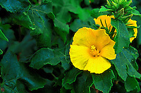 The Hawaii state flower, the yellow hibiscus (brackenridgii) surrounded by green leaves