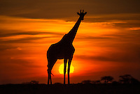 'Wild Silhouette'<br />
