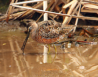 Long-billed dowitcher nearing breeding plumage in April