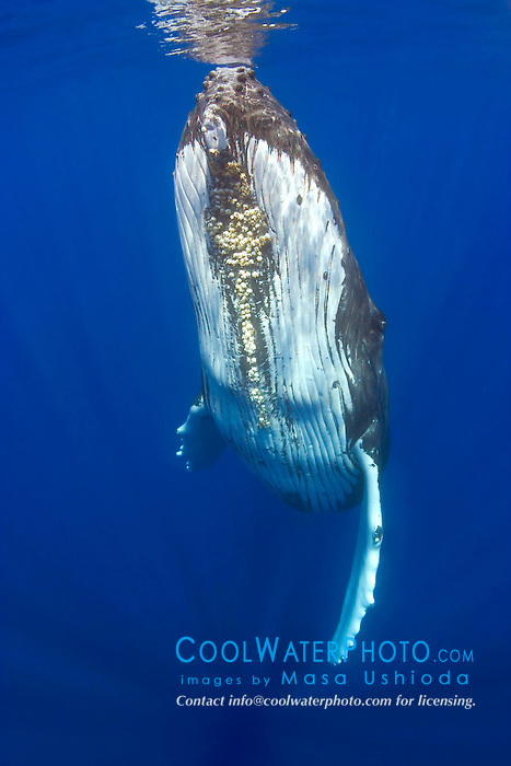 humpback whale, Megaptera novaeangliae, adult female with colony of acorn barnacles, Cornula diaderma,  under chin, Big Island, Hawaii, Pacific Ocean