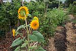Venezia - F.U.D. Venezia L'orto sinergico coltivato da Michele Savorgnano. Sono 300 le piante i fiori coltivati in questo spazio.