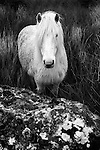 White Dartmoor pony standing in long grass