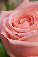 Rosa, coral pink, macro closeup of petals, soft focus