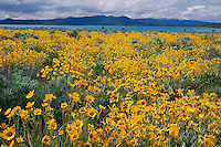 Deltoid balsamroot<br />
