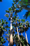 Palm trees in a group against a blue sky, Tenerife, Canary Islands.