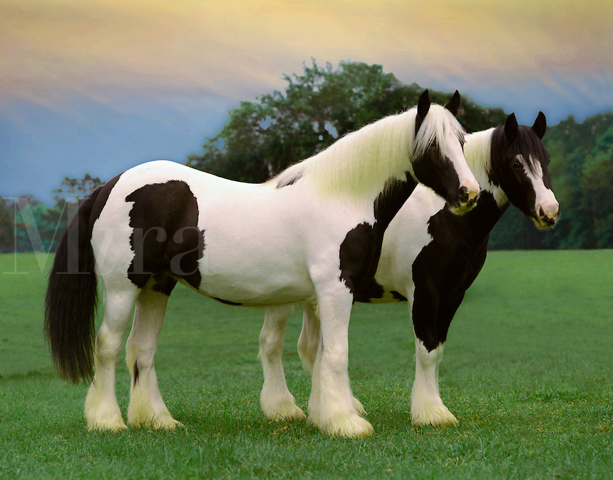 Gypsy Vanner Draft Horse mares.