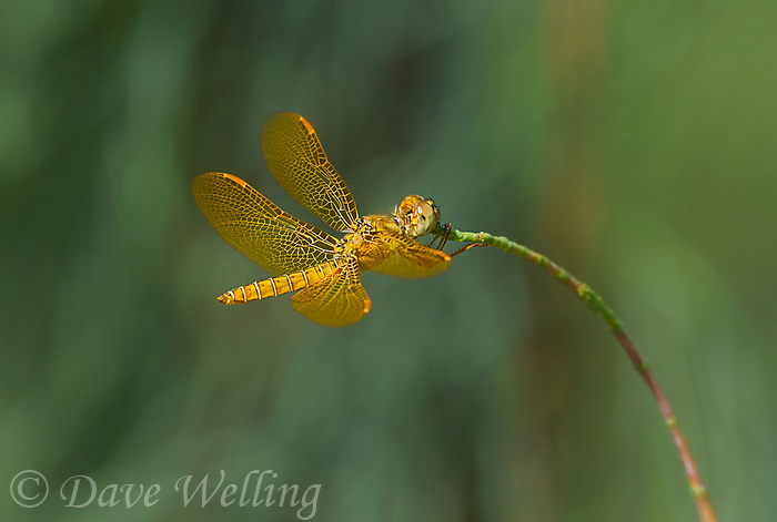 304570016 a wild male mexican amberwing perithemis intensa perches on a plant stem in yuma county arizona