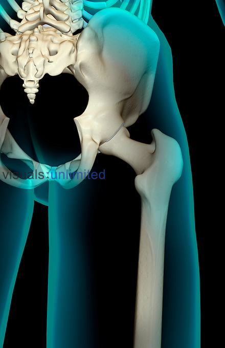 An x-ray type image showing a posterior inferior view of the pelvic outlet and the bones of the right hip joint and the lower limb relative to the body. The surface anatomy of the body is transparent and tinted blue. Royalty Free
