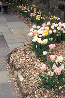 Pastel colored tulips along garden border, mulched with bark, next to flagstone patio and stone wall