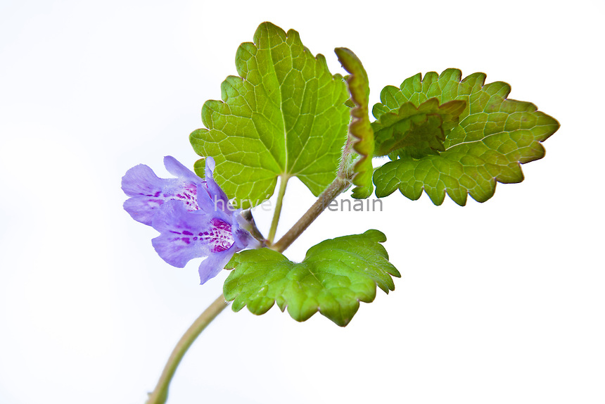 Glechoma hederacea, lierre terrestre // Glechoma hederacea commonly known as Ground-ivy, gill-over-the-ground or Creeping Charlie