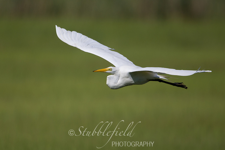 Great Egret (Ardea alba egretta), American subspecies, in flight over the salt marsh at Oceanside Marine Nature Study Area in Hempstead, New York.