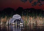 African Elephant: African savanna, (Loxodonta africana drinking in Okavango waterway