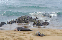 Northern Elephant Seals (Mirounga angustirostris)--male in background with female and pup .  Central California coast.