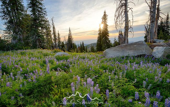 Idaho, Central, Cascade, Boise National Forest, Snowbank Mountain. Silky Lupine above the west side looking over the Council Valley area in summer.
