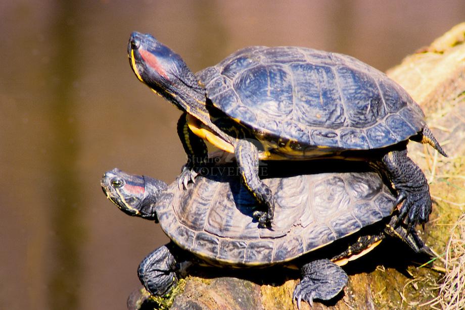 Roodwangschildpad (Chrysemys picta)