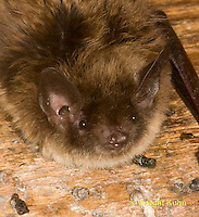 MA20-607p  Little Brown Bats, close-up of face, Myotis lucifugus. Photo tightly cropped
