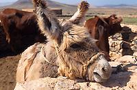 Esel im Museumsdorf, Tefia, Fuerteventura, Kanarische Inseln, Spanien