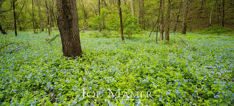 Bluebells (Mertensia virginica) carpet the forest floor in Carley State Park in springtime.