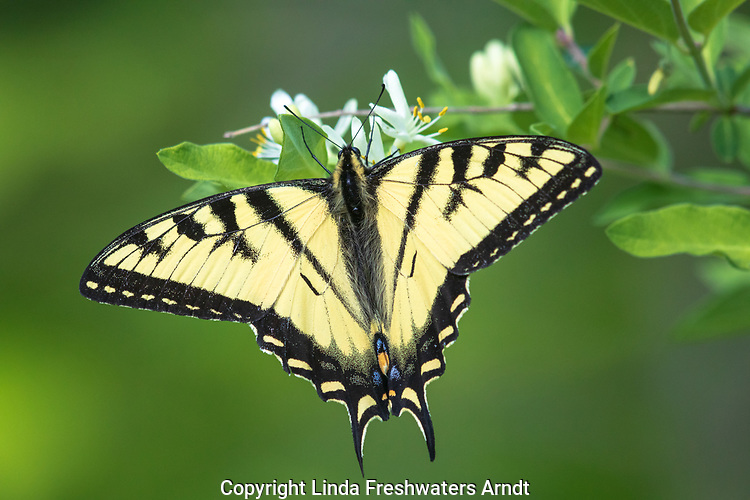 Eastern tiger swallowtail butterfly on a Morrow's honesuckle bush.