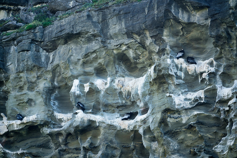 Andean Condors Roosting on cliff face. Patagonia, Chile