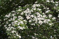 Eingriffliger Weißdorn, Weissdorn, Weiß-Dorn, Weiss-Dorn, Crataegus monogyna, English Hawthorn, May, Aubépine monogyne