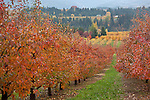 Columbia River Gorge National Scenic Area, Hood River County, Oregon<br /> Fruit orchard (Bartlett pear) in bright fall color with farm ridges of the Hood River Valley in the distance