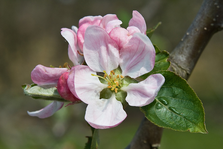 Blosom of Apple 'Catshead', late April. A very old English culinary apple, dating back to at least 1629. Widely grown in the 18th and 19th centuries. So-called due to its conical, ribbed profile.