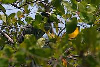 Savacu-de-coroa<br /> O savacu-de-coroa é um Pelecaniforme da família Ardeidae.<br /> Conhecido também como dorminhoco, matrião (algumas regiões da Amazônia), sabacu, tamatião e taquiri (Pará).<br /> <br /> Nome Científico<br /> <br /> Seu nome científico significa: do (grego) nux = noite; e anassa = rainha, senhora; e do (latim) violacea, viola = com a cor de violeta, violeta. ⇒ Rainha da noite de cor violeta.<br /> <br /> Características<br /> <br /> Esta espécie mede de 50 a 70 centímetros e pesa cerca de 650 gramas. Na região da testa possui coloração amarela ou ferrugem, com a lateral da cabeça preta e uma mancha pós-ocular branca. As penas das costas e das asas são pretas, margeadas de cinza, enquanto o restante da plumagem é cinza e os tarsos são compridos e amarelados. O bico robusto varia de tamanho conforme a área de distribuição: se no local onde vive as presas são grandes, então o bico será grande; do contrário, um pouco menor.<br /> <br /> Salinas, Pará, Brasil<br /> Foto Carlos Barreto<br /> 2015