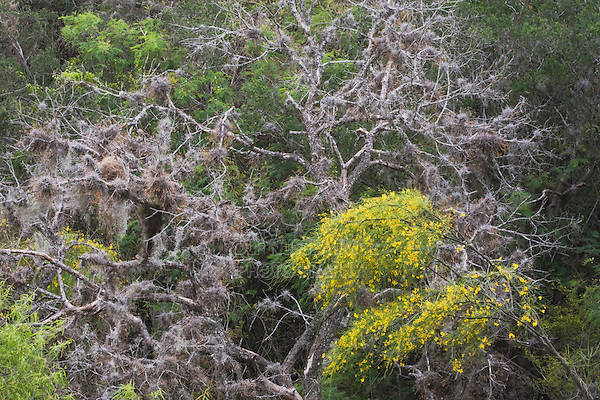Retama, Paloverde (Parkinsonia aculeata) blooming in canopy, Rio Grande Valley,Texas, USA