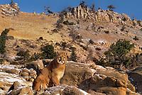656326383 a captive mountain lion felis concolor sits on a rocky outcrop below a steep mountain face in central montana