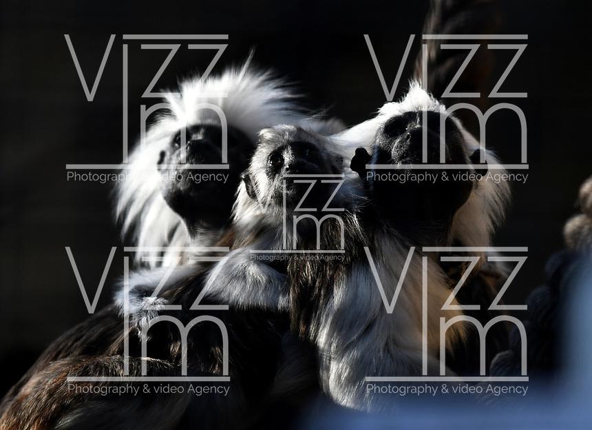 CALI - COLOMBIA - 27 - 09 - 2017: Titi de Cabeza Blanca (Saguinus Oedipus), especie de primate en el Zoologico de Cali, en el Departamento del Valle del Cauca.  / Titi de Cabeza Blanca (Saguinus Oedipus), a primate species at the Cali Zoo, in the Department of Valle del Cauca. / Photo: VizzorImage / Luis Ramirez / Staff.