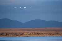 Tundra swans fly over Safety Sound, near Nome Alaska, along the western coast of Alaska's Arctic.