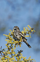 Lark Bunting (Calamospiza melanocorys), male with winter plumage on blooming Blackbrush Acacia (Acacia rigidula), Starr County, Rio Grande Valley, Texas, USA